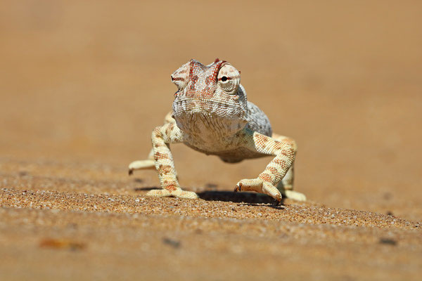Namaqua Chameleon (Chamaeleo namaquensis) walking towards me.