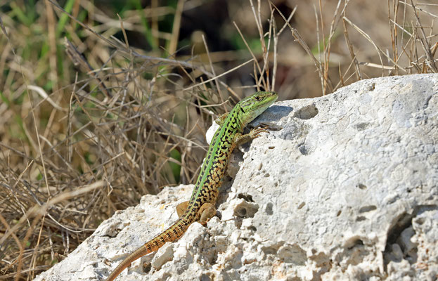 Italian Wall Lizard (Podarcis siculus campestris) male