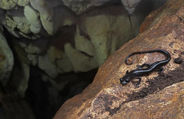 Black Jumping Salamander (Ixalotriton niger) in habitat.