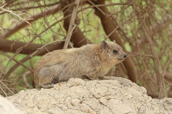 Rock Hyrax (Procavia capensis) resting in the shade.
