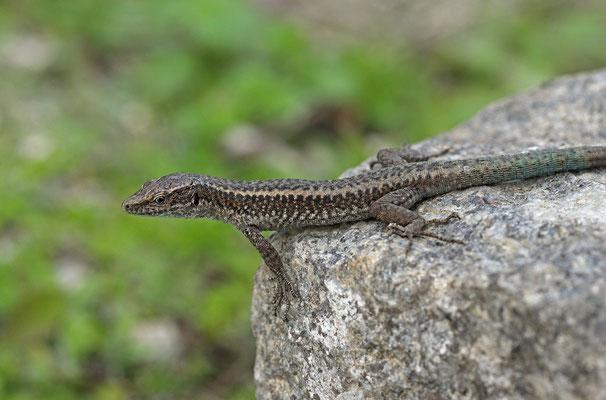 Madeiran Wall Lizard (Teira dugesii)