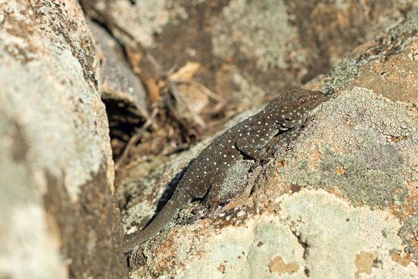 Israeli Fan-fingered Gecko (Ptyodactylus puiseuxi) basking