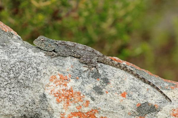 Southern Rock Agama (Agama atra) basking