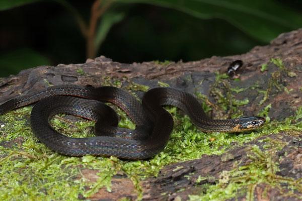 Red-bellied Pygmy Snake (Trimetopon slevini)