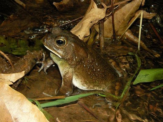 Flat-backed Toad (Amietophrynus maculatus)