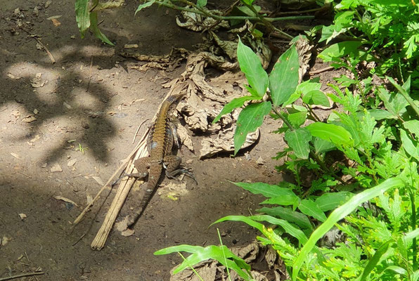 Delicate Whiptail (Holcosus leptophrys)
