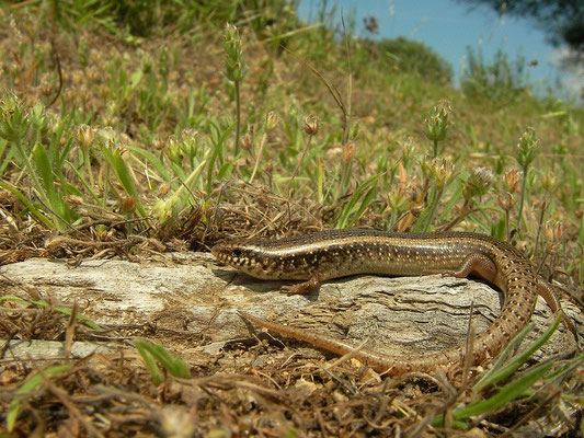 Ocellated Skink (Chalcides ocellatus), Sardinia, Italy, May 2011