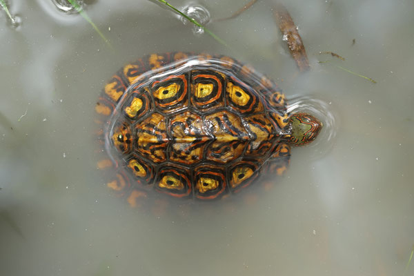 Ornate Wood Turtle (Rhinoclemmys pulcherrima)