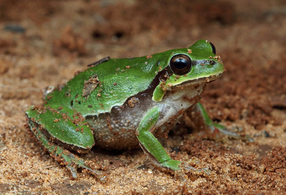 Lemon-yellow Tree Frog (Hyla savignyi)