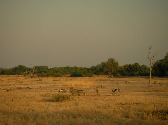 Warthogs (Phacochoerus africanus) and  Grey Crowned Crane (Balearica regulorum) foraging.