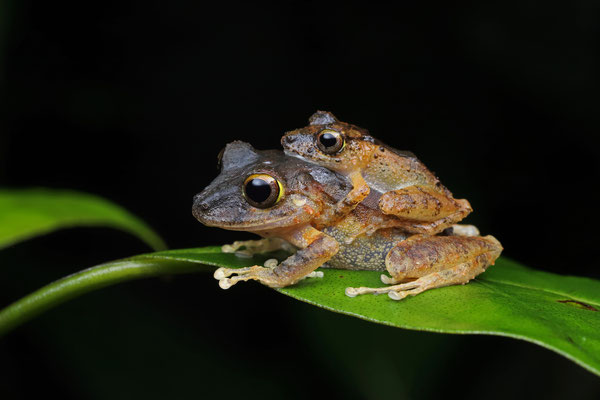 Clay-coloured Rain Frog (Pristimantis cerasinus)  amplectant couple