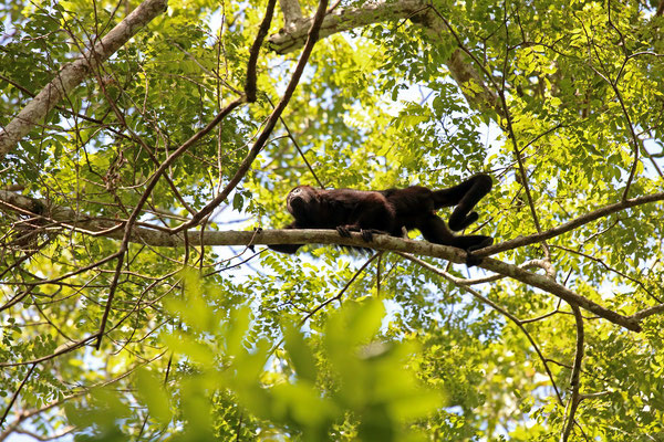 Yucatán Black Howler Monkey (Alouatta pigra)