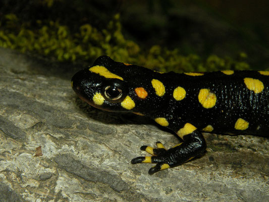Kurdistan Newt (Neurergus derjugini) with nice orange spot on the cheek.