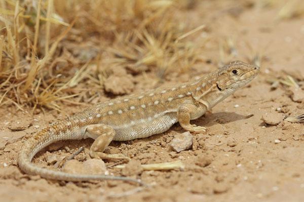 Beer Sheva Fringe-fingered Lizard (Acanthodactylus beershebensis)