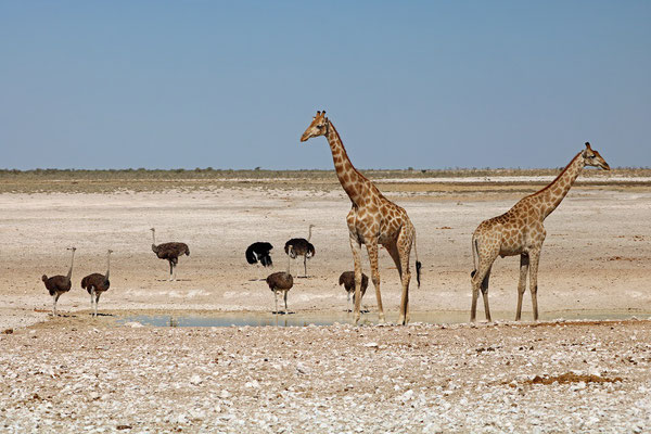 Ostriches and Giraffes sharing a waterhole.