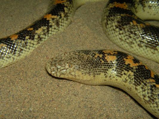 Arabian Sand Boa (Eryx jayakari)
