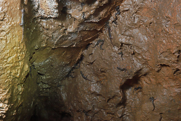 Scented Cave Salamanders (Speleomantes imperialis)