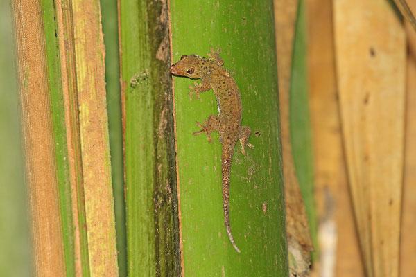 Dwarf Bronze Gecko (Ailuronyx tachyscopaeus)
