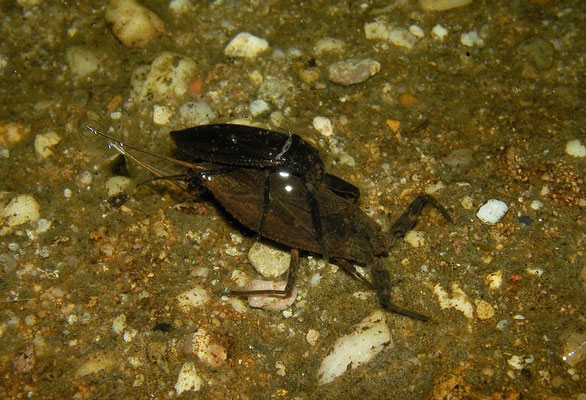Water Scorpion (Nepa cinerea)