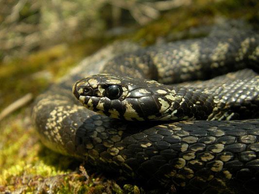 Grass Snake (Natrix helvetica cetti), Sardinia, Italy, May 2011