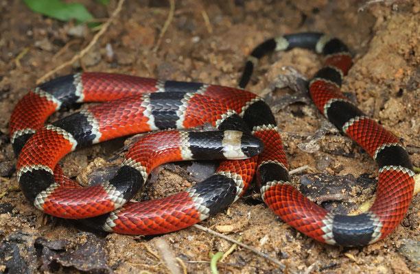 Central American Coral Snake (Micrurus nigrocinctus)