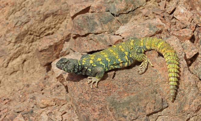 Ornate Spiny-tailed Lizard (Uromastyx ornata)
