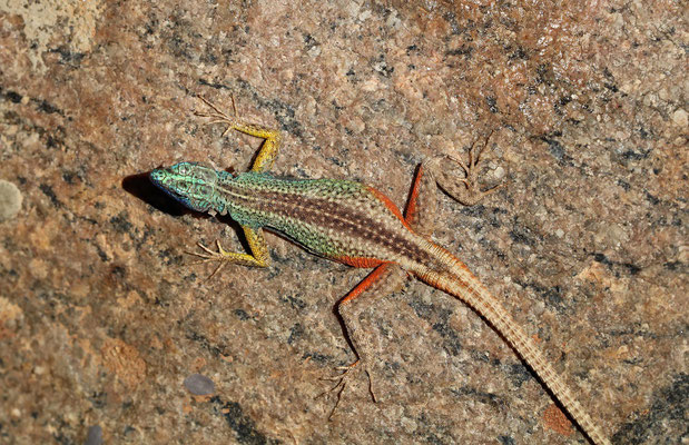 Augrabies Flat Lizard (Platysaurus broadleyi) male, from above the colouration is much more cryptic than you'd think.