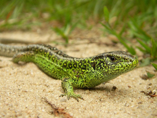 Sand Lizard (Lacerta agilis), Twente, the Netherlands, June 2008