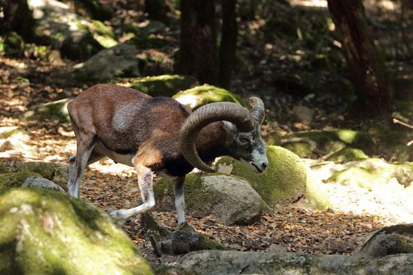 European Mouflon (Ovis orientalis musimon) ram