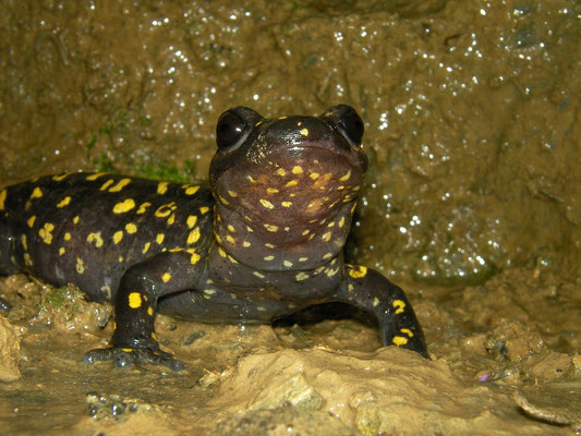 Oriental Fire Salamander (Salamandra infraimmaculata semenovi)