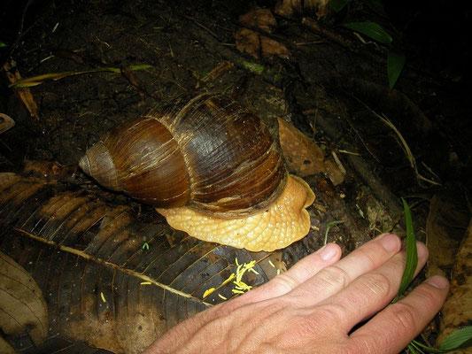 Huge snail