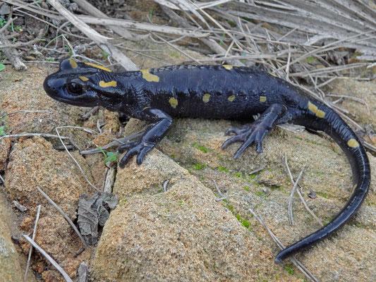 North African Fire Salamander (Salamandra algira tingitana)