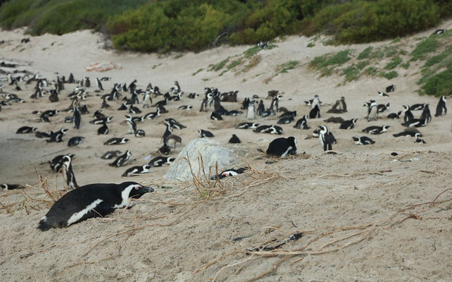 African Penguin (Spheniscus demersus) colony