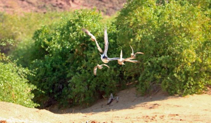 African Hawk-eagle (Aquila spilogaster) chasing Namaqua Sandgrouse (Pterocles namaqua).
