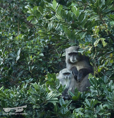 Samango Monkeys (Cercopithecus mitis)