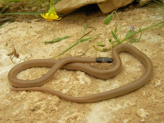 Persian Dwarf Snake (Eirenis persicus)