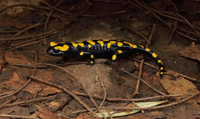 Oriental Fire Salamander (Salamandra infraimmaculata)