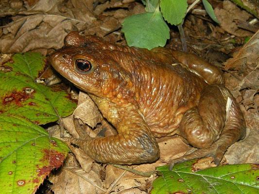 Caucasian Toad (Bufo verrucosissimus) male