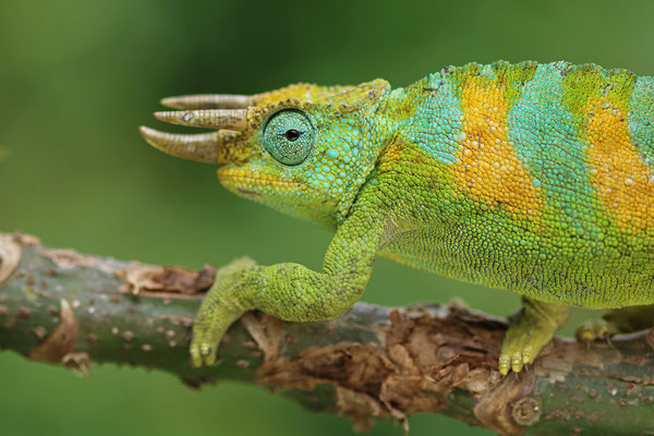 Rwenzori Three-horned Chameleon (Trioceros johnstoni)
