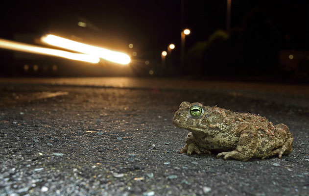 Natterjack Toad (Epidalea calamita) on the street. Luckily our car was the only one around that night.