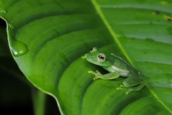 Emerald Glass Frog (Espadarana prosoblepon)
