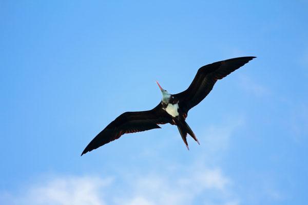 Great Fregatebird (Fregata minor)