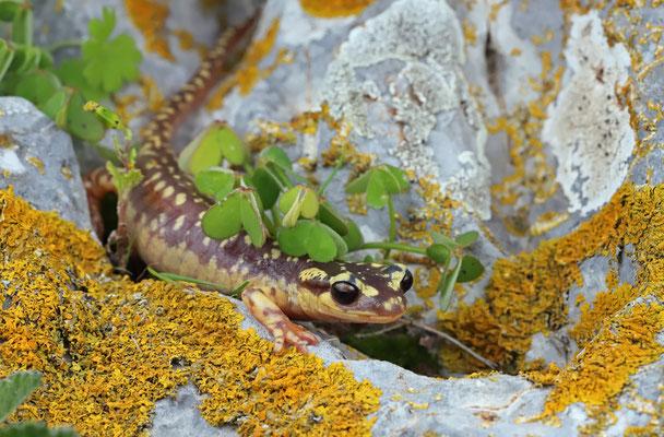 Karpathos Salamander (Lyciasalamandra helverseni) female