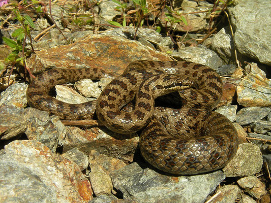 Smooth Snake (Coronella austriaca), Piedmont, Italy, July 2016