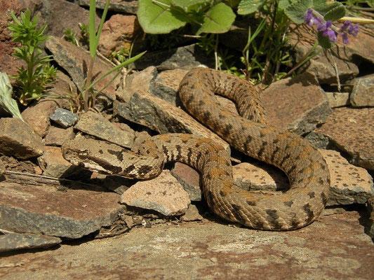 Armenian Viper (Montivipera raddei) juvenile