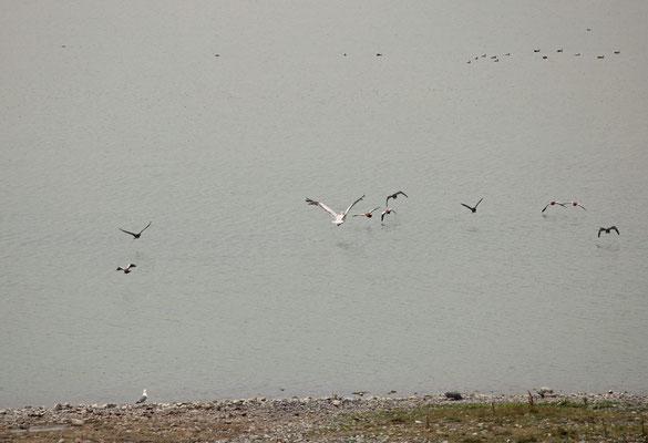 Dalmatian Pelican (Pelecanus crispus), Ruddy Shelduck (Tadorna ferruginea), Cormorant (Phalacrocorax carbo) and Armenian Gull (Larus armenicus).
