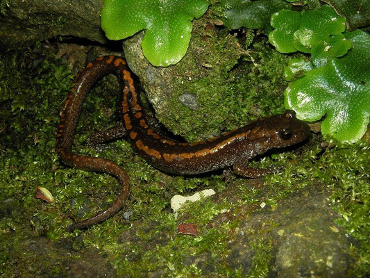 Caucasian Salamander (Mertensiella caucasica)