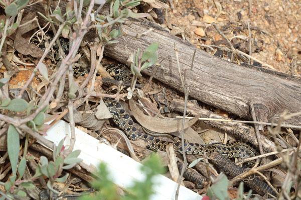 Horseshoe Whip Snake (Hemorrhois hippocrepis) juvenile basking