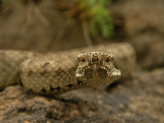 Caucasian Pit Viper (Gloydius halys) showing the facial pits with which they can sense thermal radiation.