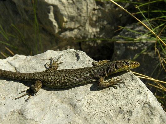 Mosor Rock Lizard (Dinarolacerta mosorensis), Durmitor, Montenegro, July 2012